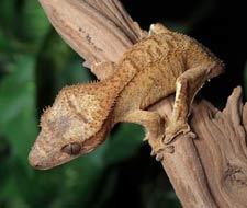 Tắc Kè Crested Gecko - Người bạn đồng hành tuyệt vời dành cho người mới chơi bò sát 9