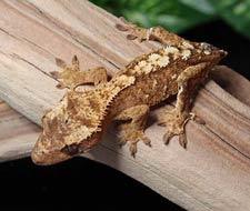 Tắc Kè Crested Gecko - Người bạn đồng hành tuyệt vời dành cho người mới chơi bò sát 11
