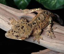 Tắc Kè Crested Gecko - Người bạn đồng hành tuyệt vời dành cho người mới chơi bò sát 7