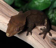 Tắc Kè Crested Gecko - Người bạn đồng hành tuyệt vời dành cho người mới chơi bò sát 8