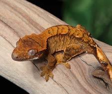 Tắc Kè Crested Gecko - Người bạn đồng hành tuyệt vời dành cho người mới chơi bò sát 6