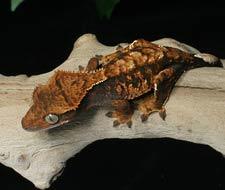 Tắc Kè Crested Gecko - Người bạn đồng hành tuyệt vời dành cho người mới chơi bò sát 12