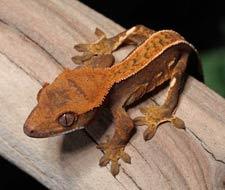 Tắc Kè Crested Gecko - Người bạn đồng hành tuyệt vời dành cho người mới chơi bò sát 4