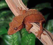 Tắc Kè Crested Gecko - Người bạn đồng hành tuyệt vời dành cho người mới chơi bò sát 10