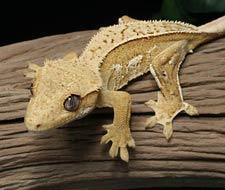 Tắc Kè Crested Gecko - Người bạn đồng hành tuyệt vời dành cho người mới chơi bò sát 5