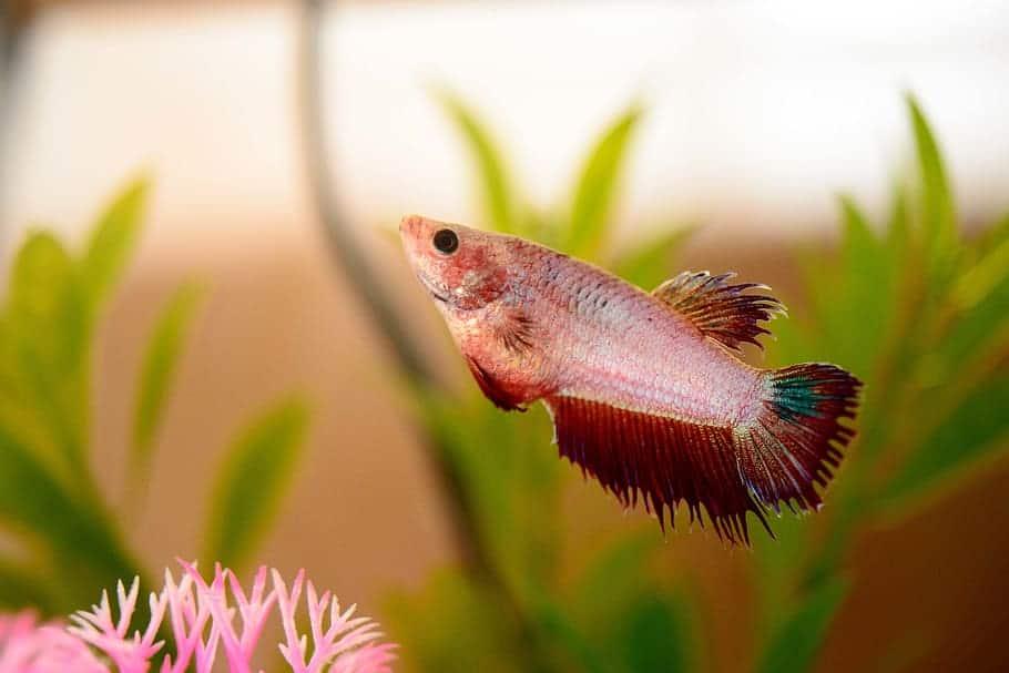 Nguyên nhân và cách chữa cá betta bị sình bụng