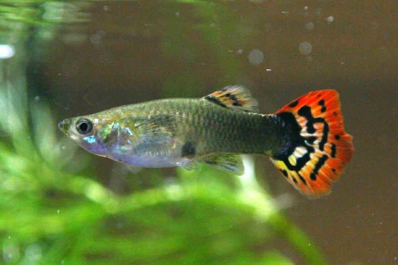 Cách chữa bệnh cá bảy màu cọ mình vào đáy bể