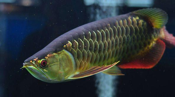 Những loại cá cảnh dễ nuôi và những điều cần chú ý khi nuôi cá cảnh