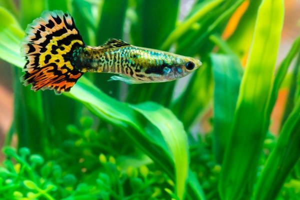 Thức ăn cho cá bảy màu và các cho cá ăn bao lâu một lần?